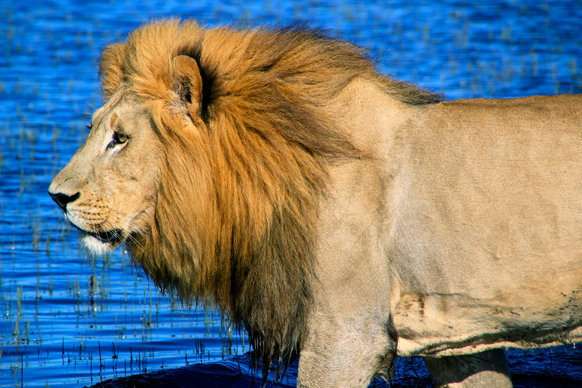 Male African Lion in water