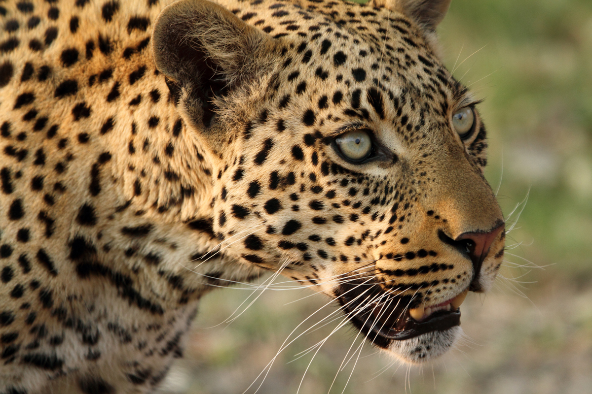 Leopard staring into distance