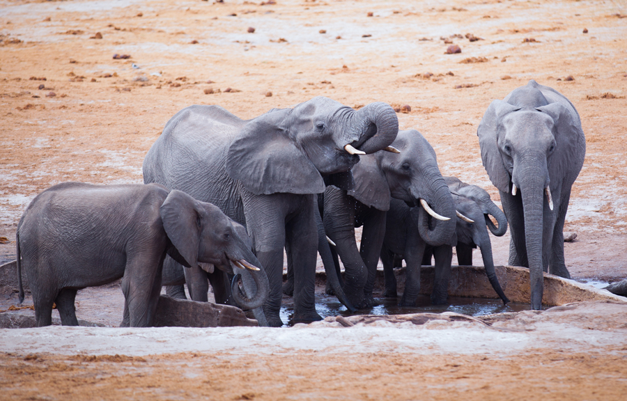 Elephants quenching thirst at African waterhole