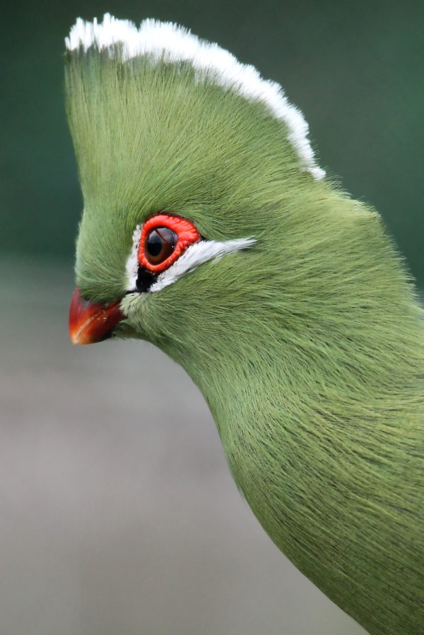 Portrait of a beautiful Turaco bird