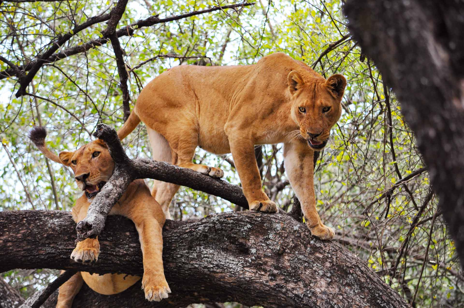 Two lionesses in a tree in Lake Manyara National Park, Tanzania.