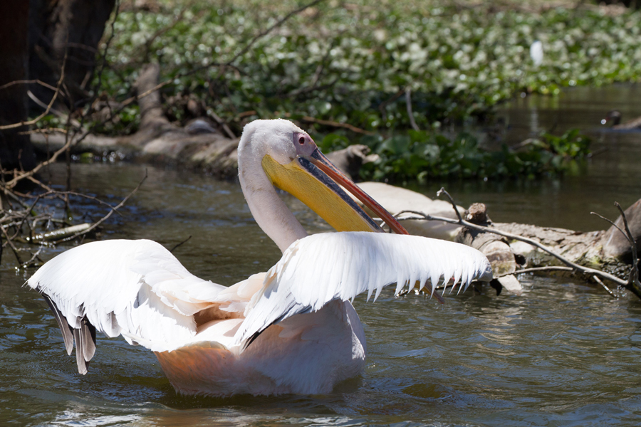 Great White Pelican (Pelecanus onocrotalus), Lake Naivasha National Park, Kenya