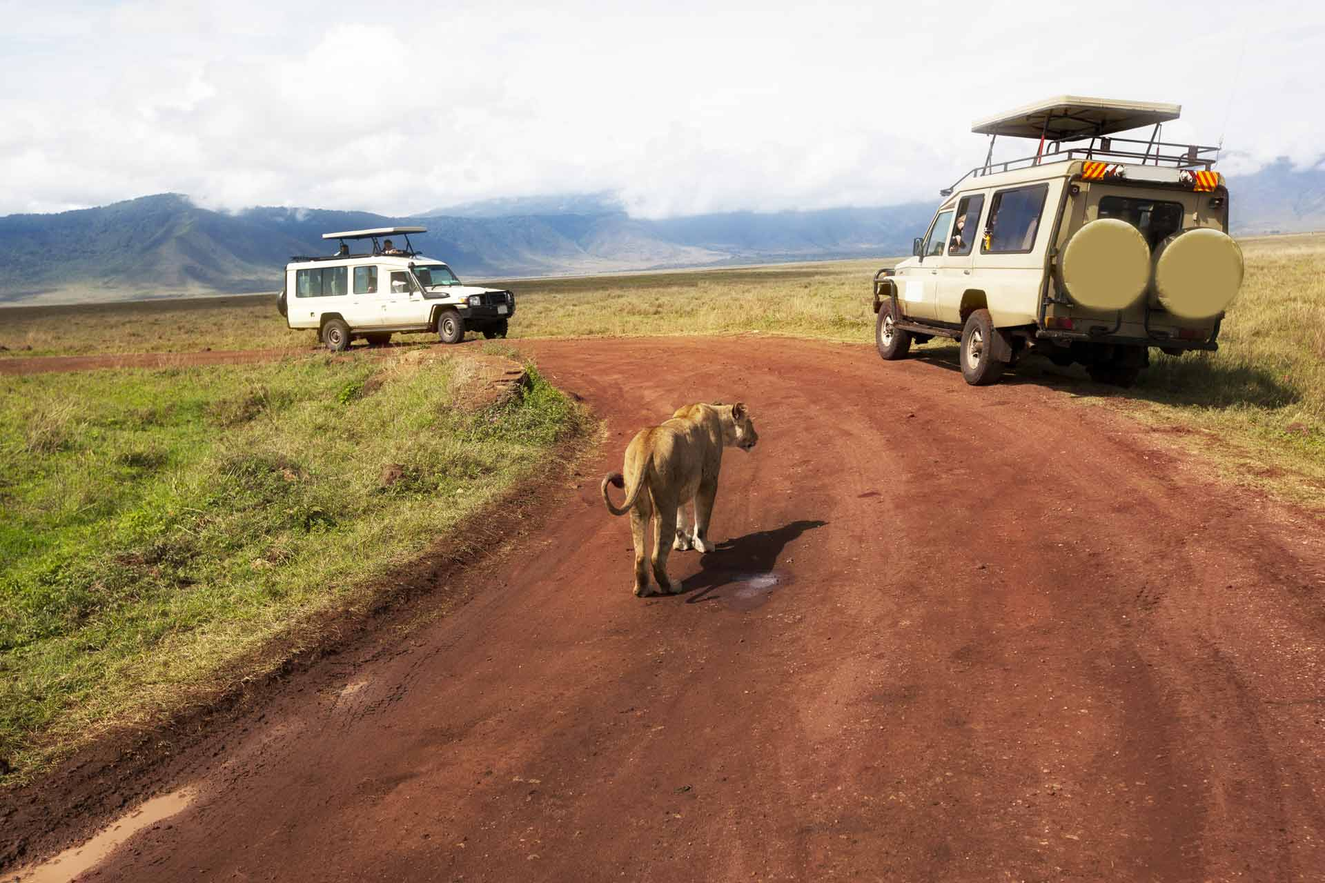 Two safari vehicles are stopped as a lion walks down the road in Ngorongoro Crater in Tanzania