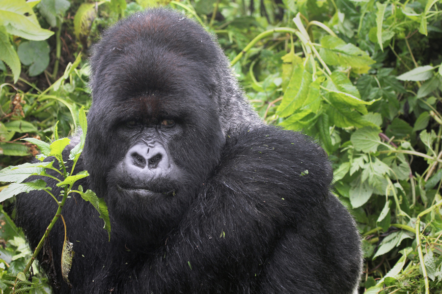 One of the most endangered animals, the Mountain Gorilla