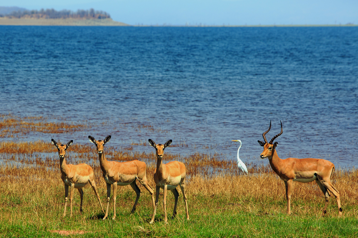 Herd of Impala and a Catle Egret on the shoreline of Lake Kariba