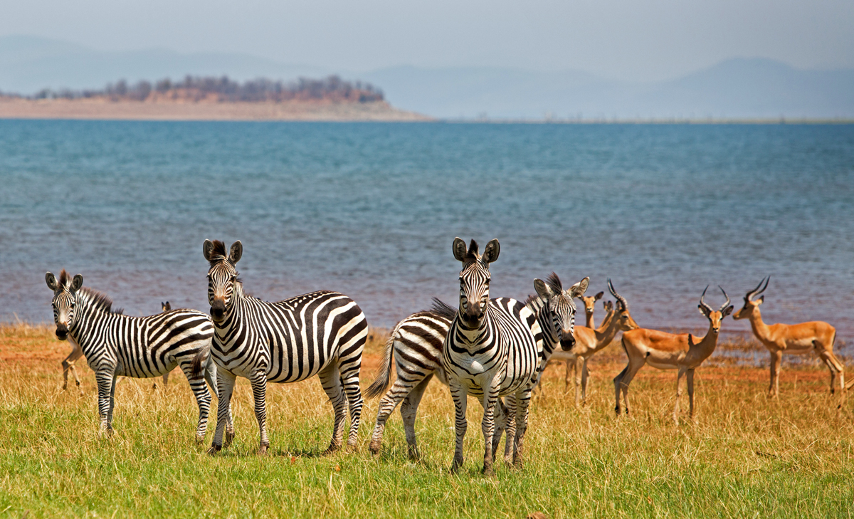 Zebras and Impala standing on the lush plains in National Park