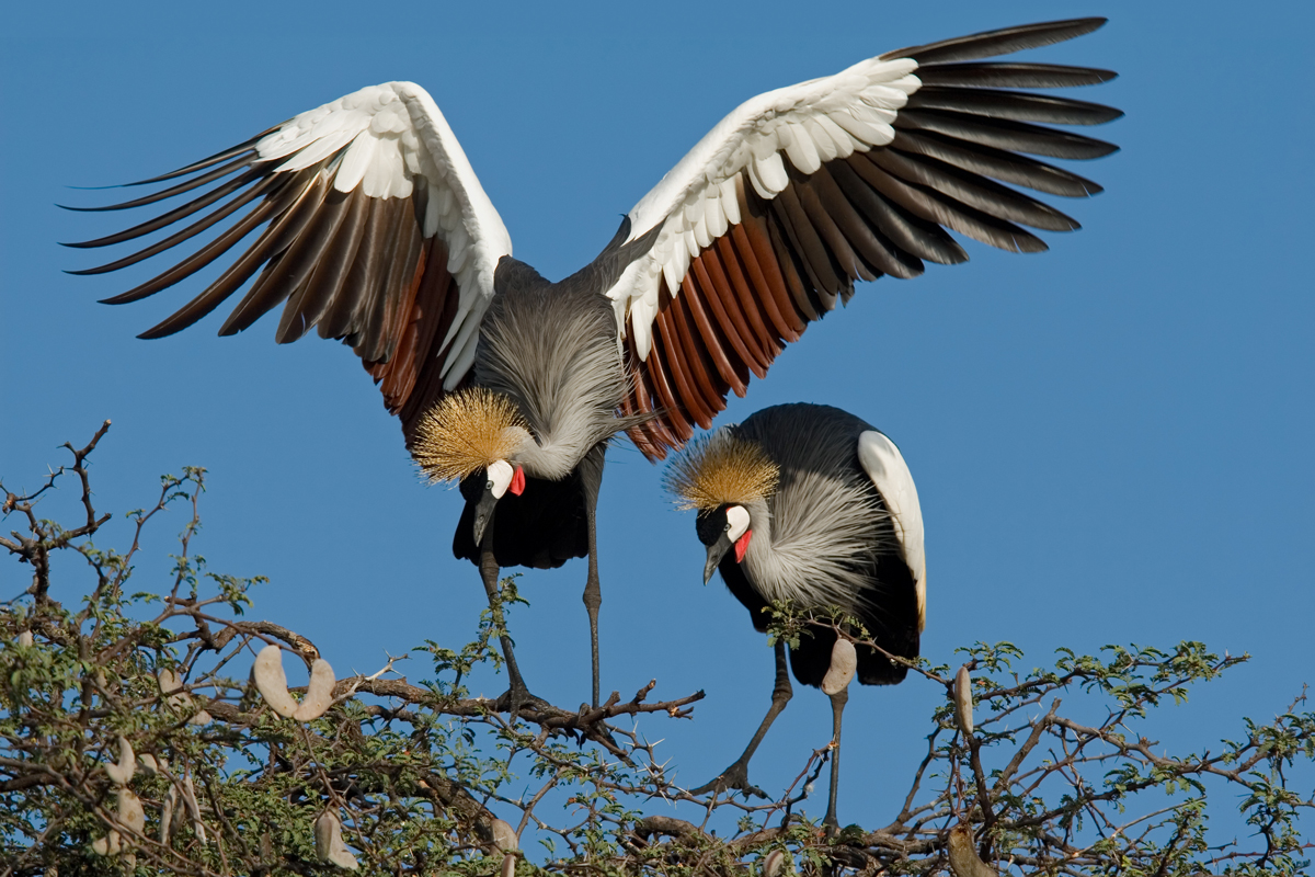 Displaying crowned cranes, Hwange National Park, Zimbabwe