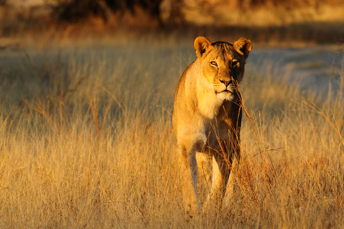 Lioness standing in the dry grass