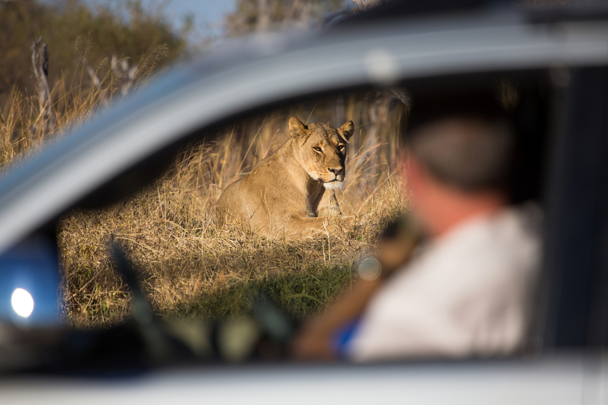 Photograph of a tourist watching a lioness, resting on a rise in dry grass through a car window at Hwange National Park