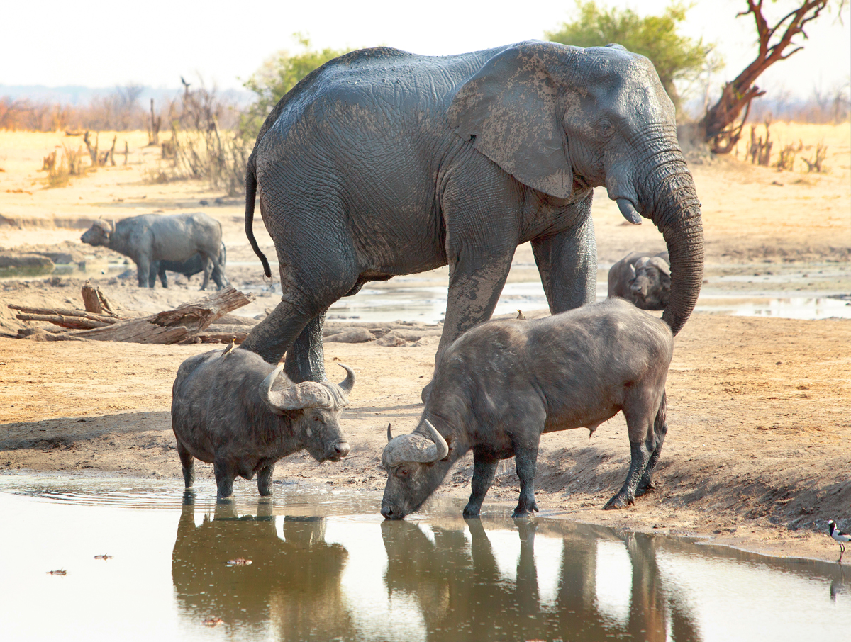 Two Buffalo take a drink from the camp waterhole while a large elephant walks behind them