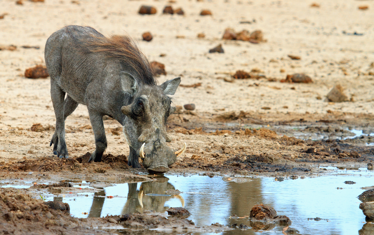 Warthog taking a drink from a small pool of water in campwith a nice reflection in Hwange National Park