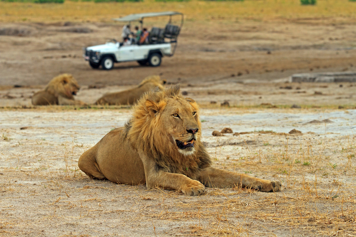 Male Lion resting on the African plains with a safari game vehicle and another lion in the distance, Hwange National Park