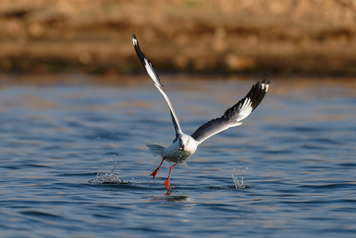 Grey headed gull catching fish at Lake Kariba