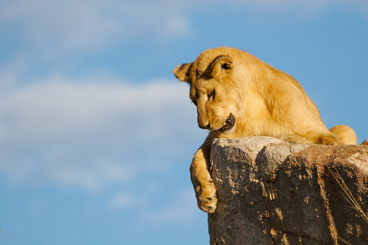 Lioness looking down