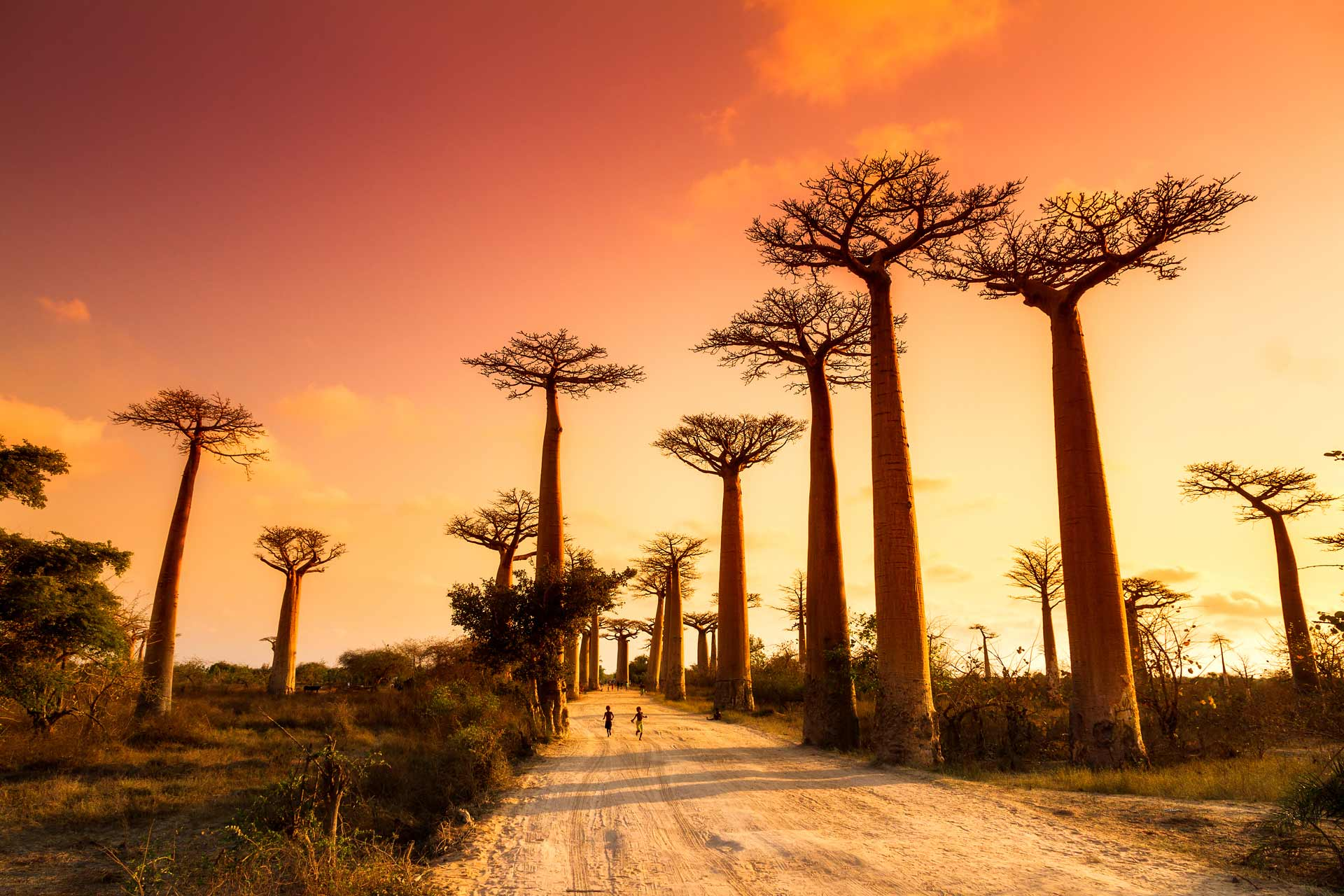 Beautiful Baobab trees at sunset at the avenue of the baobabs