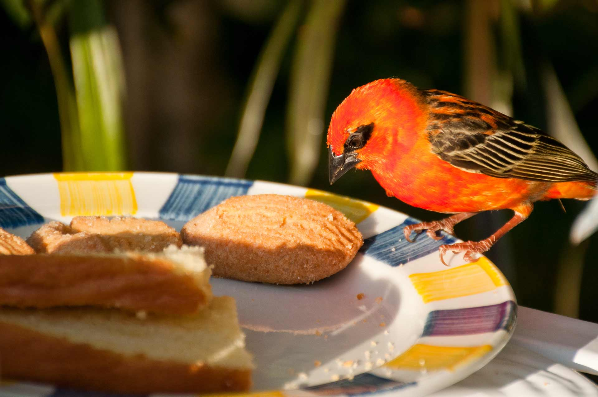 A Red Fody bird interrupts some tourist's breakfast and helps itself to some biscuits while standing on the edge of the plate