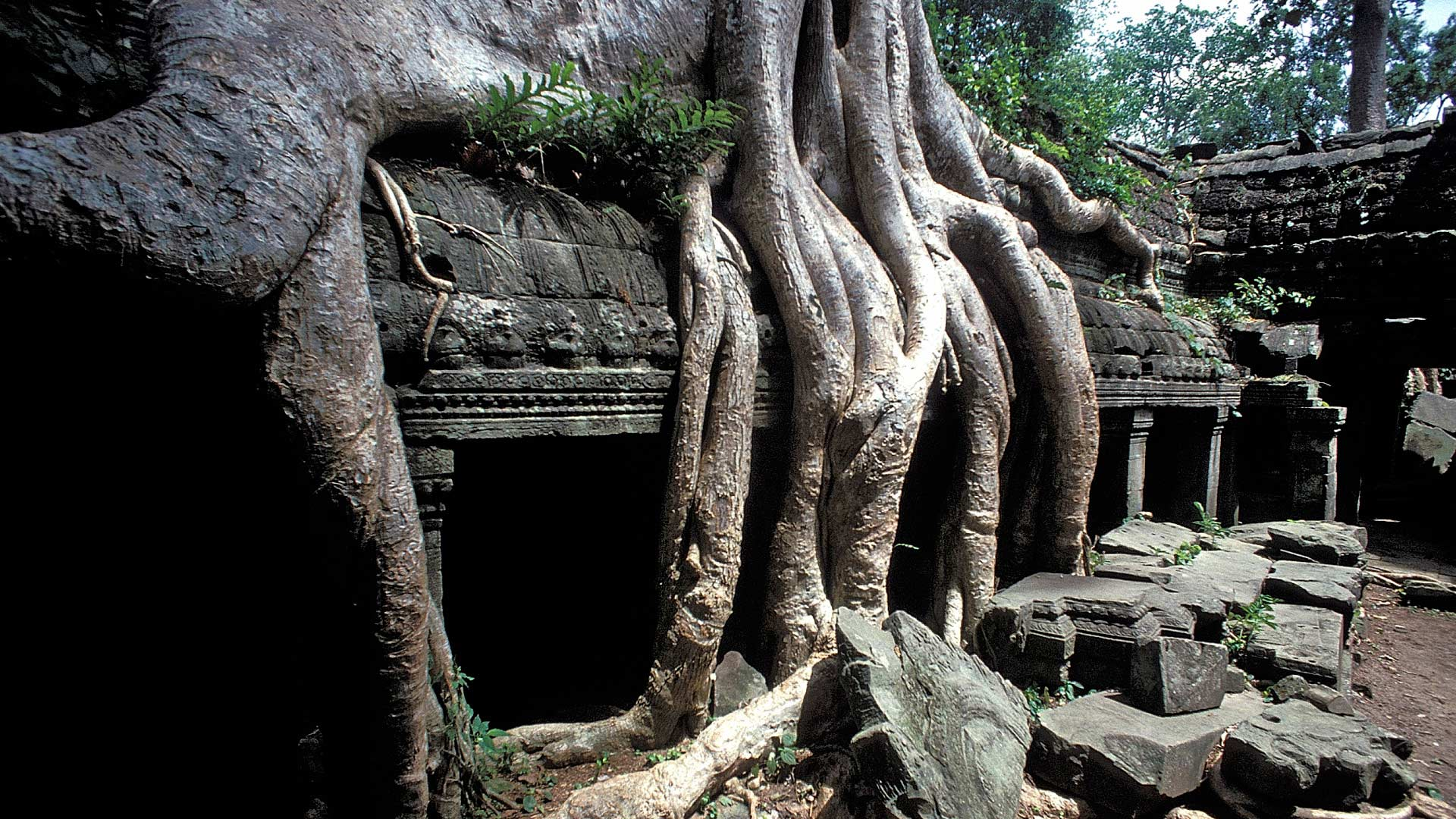 Roots of a silk cotton tree (Ceiba pentadra) growing over the gallery of the second enclosure of Ta Prohm, Angkor, Siem Reap, Cambodia