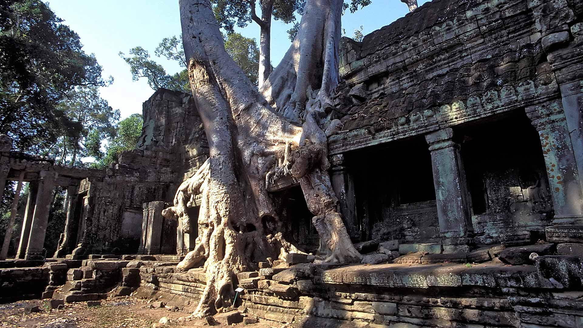 Silk cotton tree (Ceiba pentadra) growing over the Western Entrance of Preah Khan, Angkor, Siem Reap, Cambodia