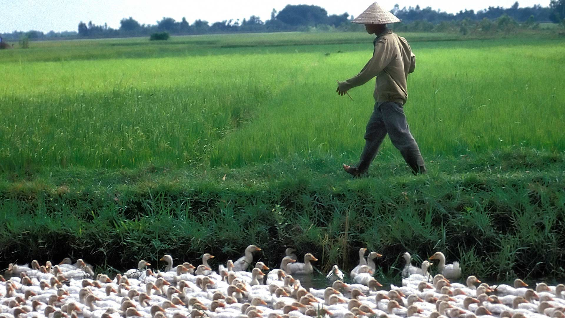 Man walking by ducks in a canal in Rural Cochinchina, Dong Nai, Vietnam