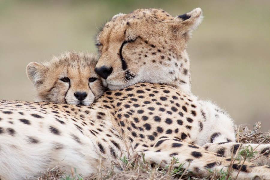Cheetah mother cuddles with his cub