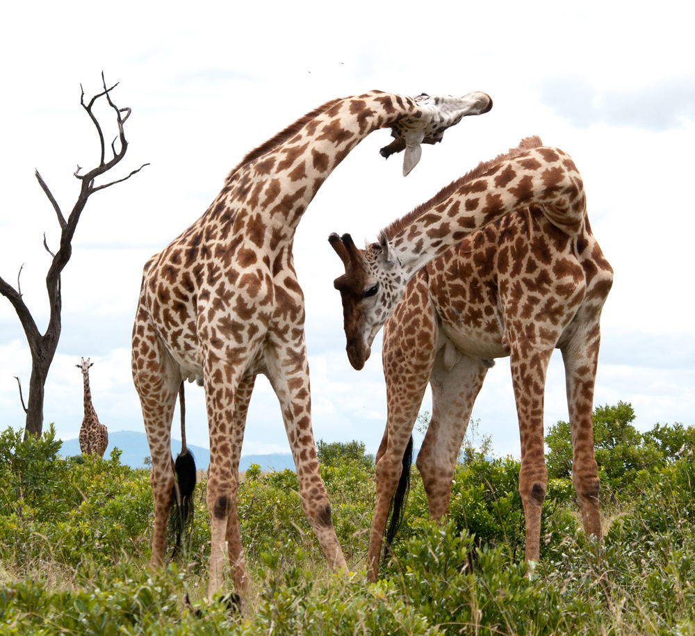 Two male Giraffes Necking