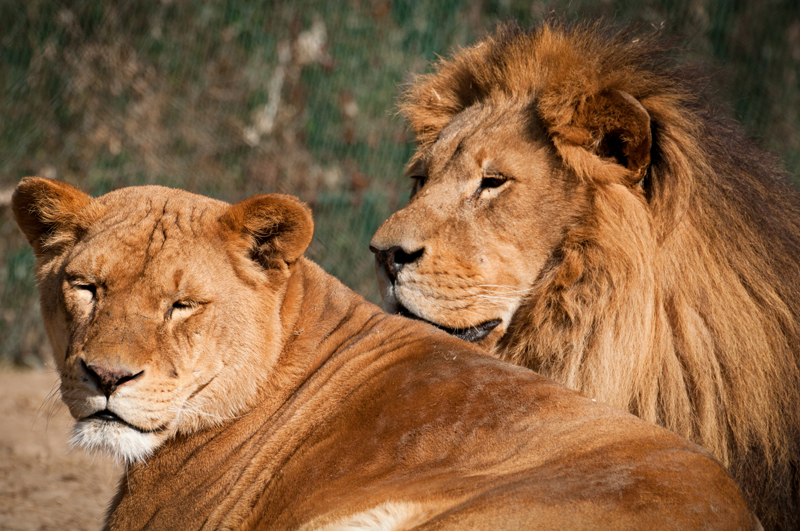 Closeup look of lioness and lion
