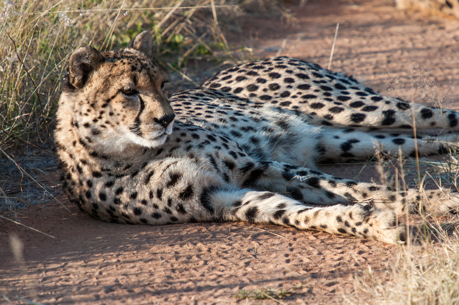 Resting Cheetah in the private reserve in Namibia