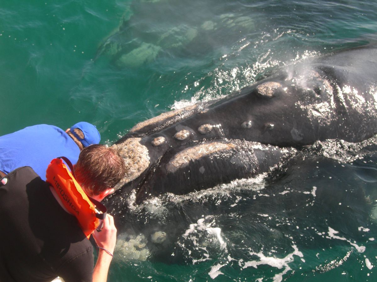Southern Rigth Whale watching in Hermanus, South Africa