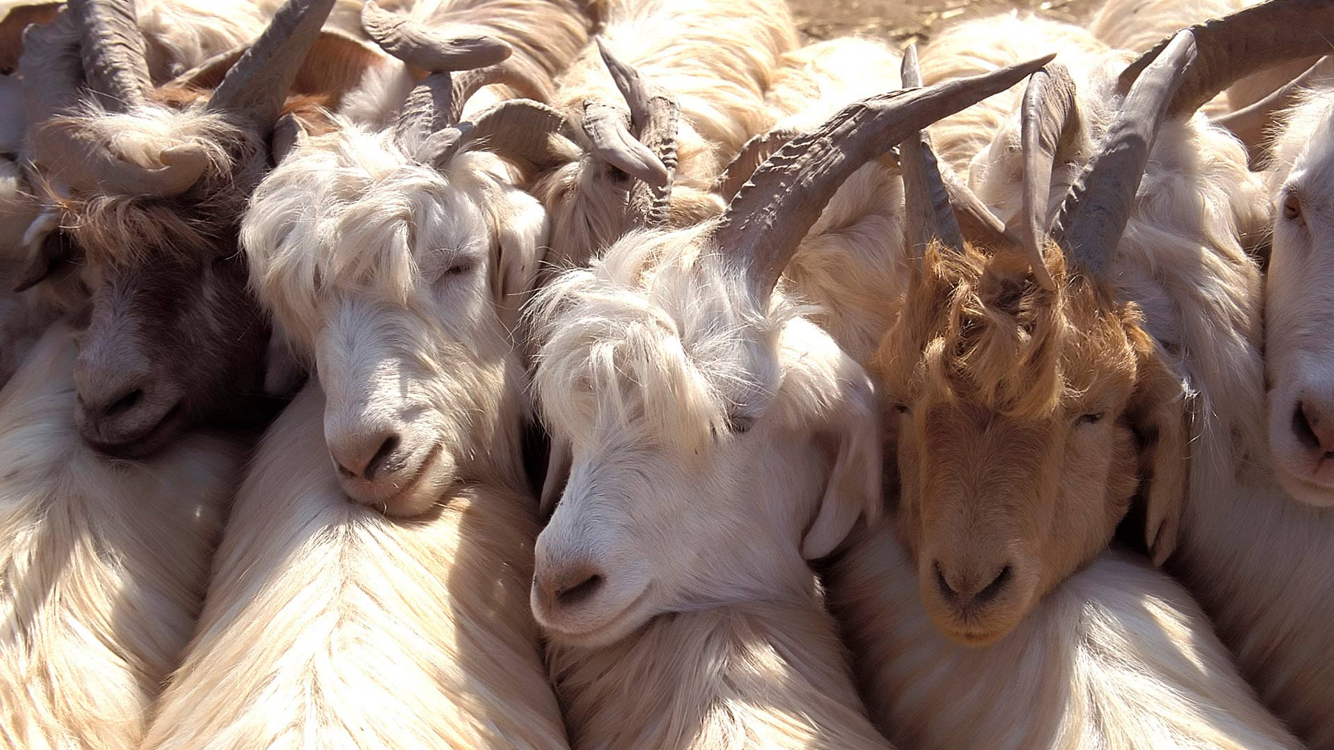 Goats for sale at the livestock market of the Yekshenba Bazaar (Sunday Bazaar), Kashgar, Xinjiang, China