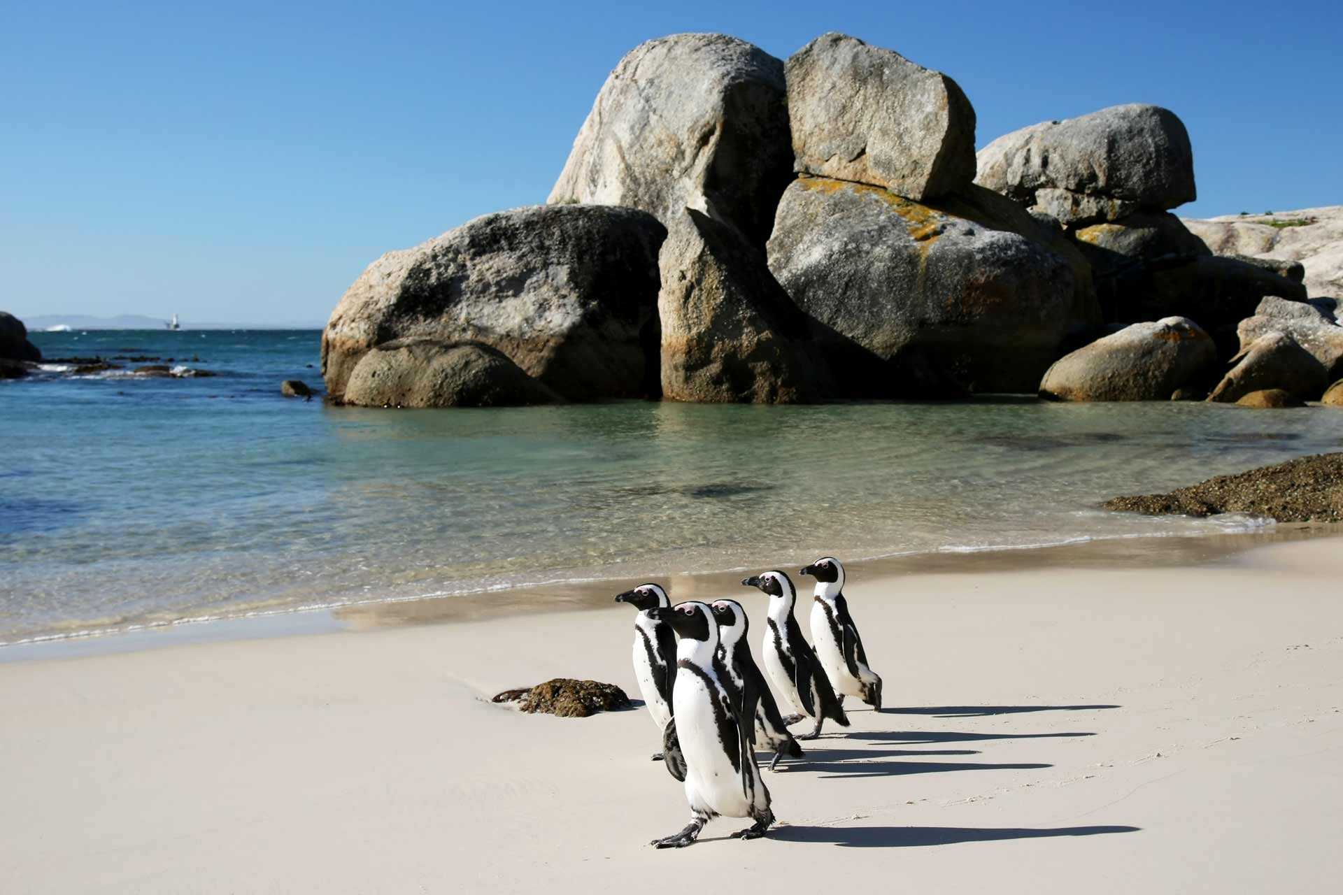 Penguins at boulders beach in Simons Town