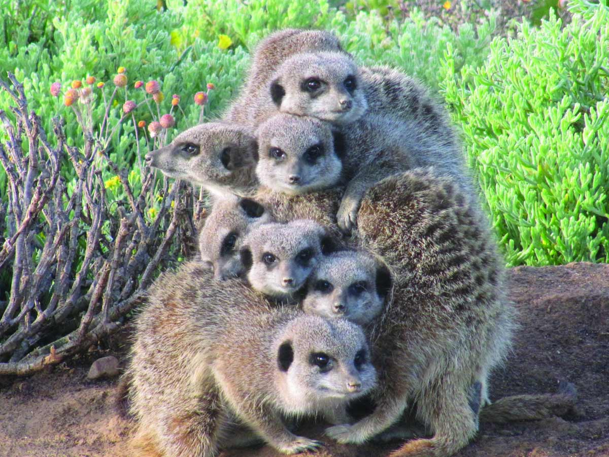 Meerkats in the wild recently emerged from burrow in the early morning, sunning themselves and bonding before foraging