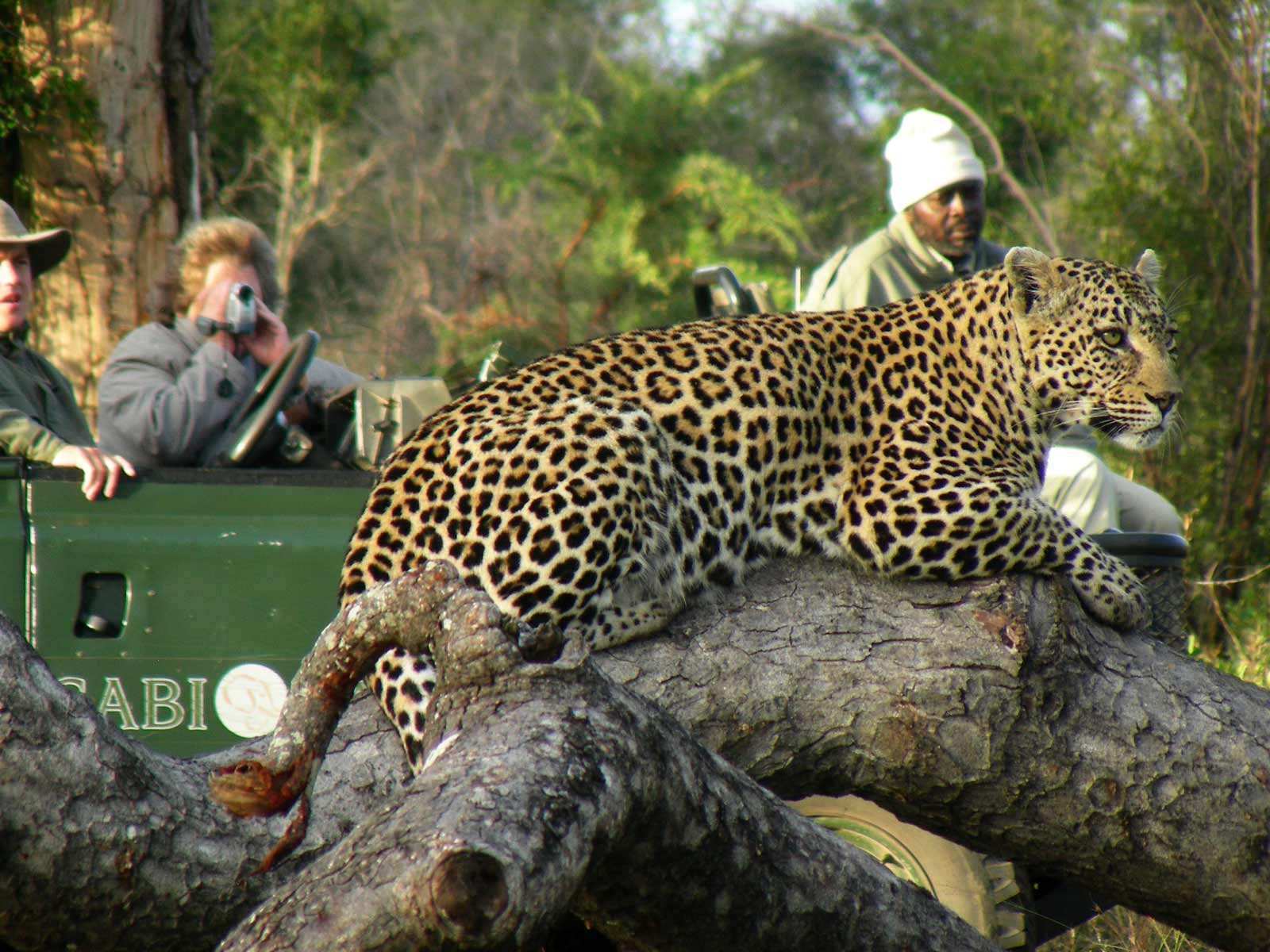Leopard with tourists in jeep in background
