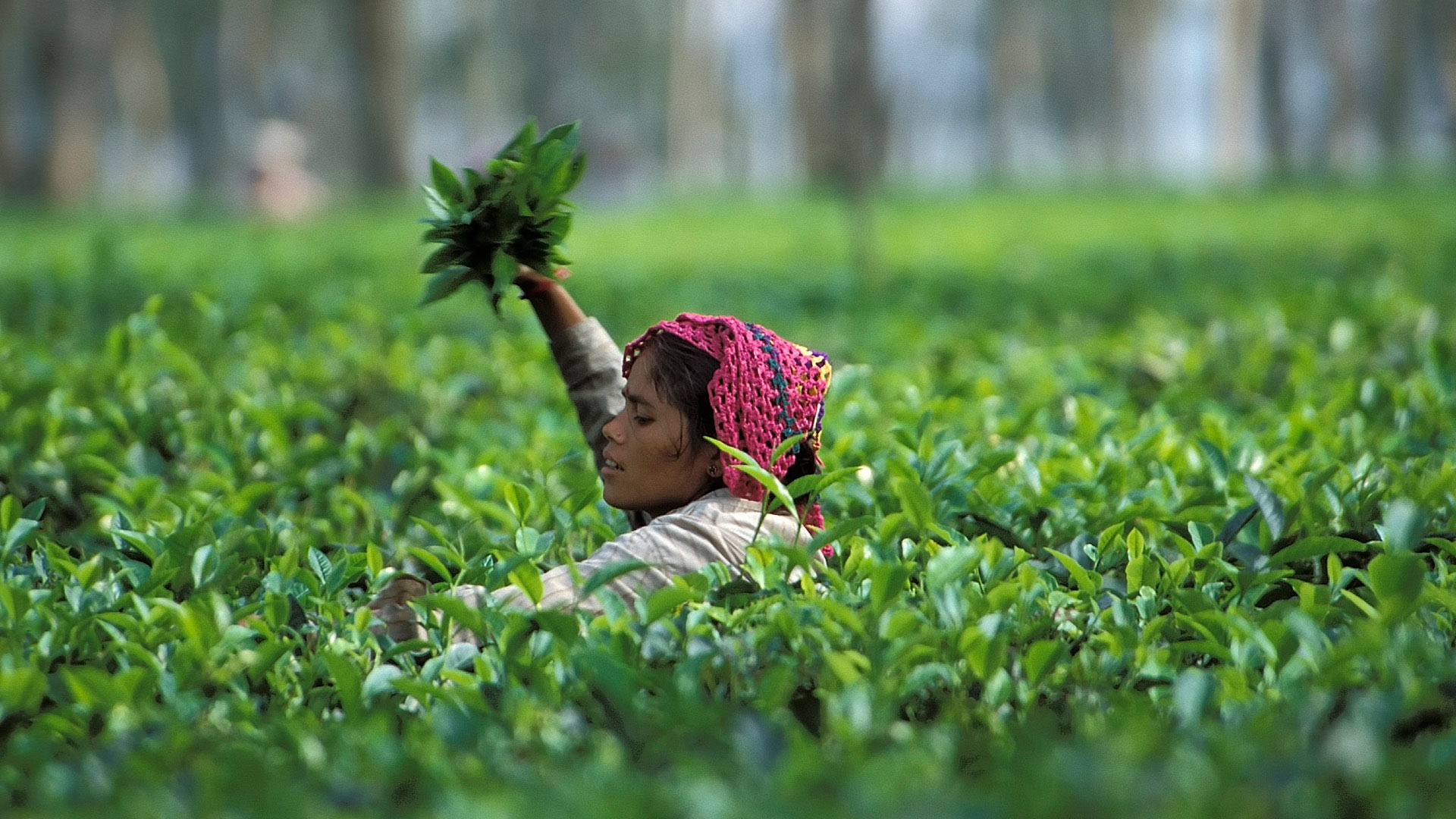 Woman picking tea leaves at the tea plantations, Darjeeling, West Bengal, India
