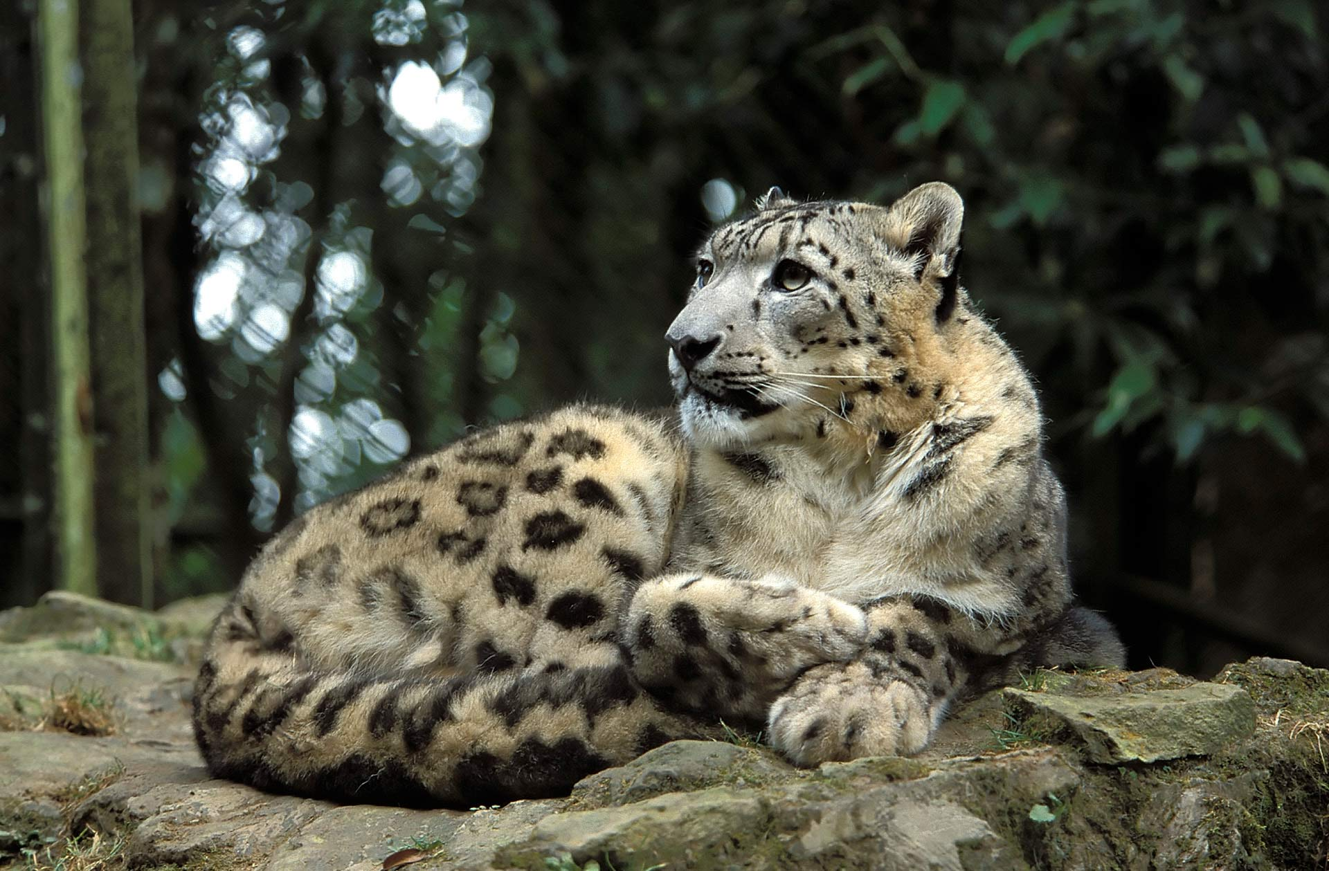 Snow leopard (Uncia uncia) in the Padmaja Naidu Himalayan Zoological Park, Darjeeling, West Bengal, India