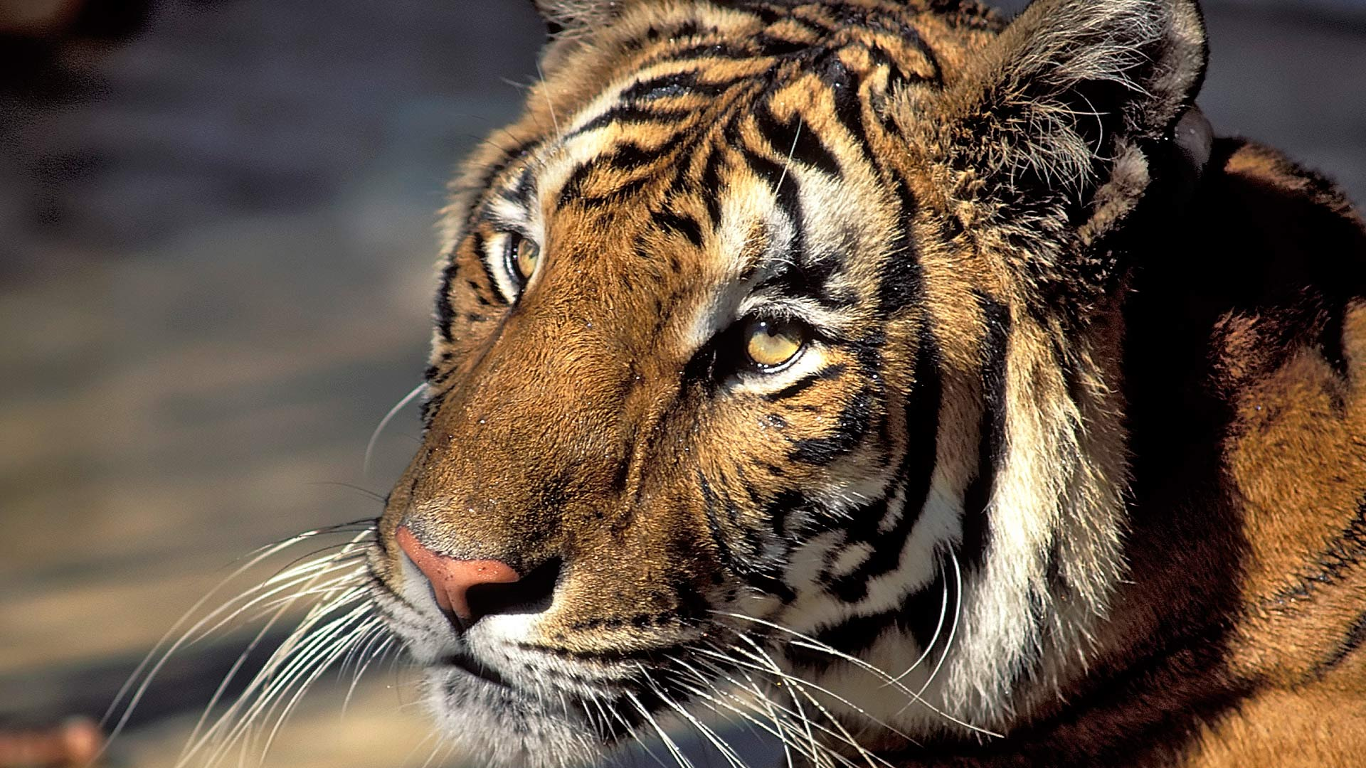 Royal Bengal tiger, India