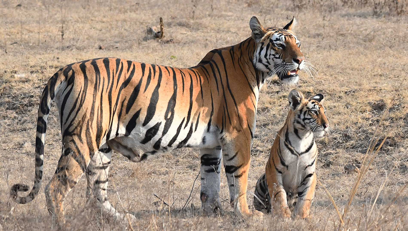 Impressive Bengal tiger with baby tiger cub in the forest, Kanha National Park, India