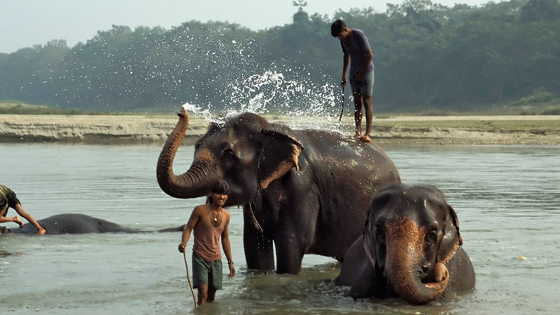 Indian Elephants (Elephas maximus indicus) having a bath in the Rapti River in Chitwan National Park, Madhyamanchal (Central Region), Nepal