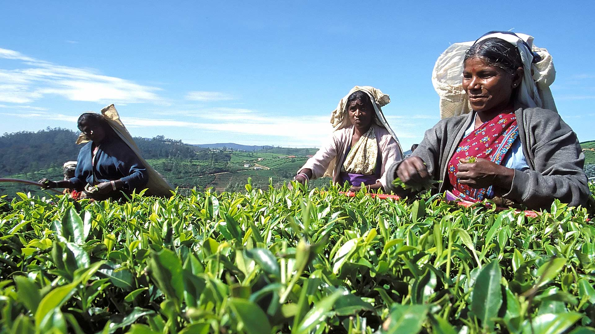 Tea pluckers, Nuwara Eliya, Central Province, Sri Lanka