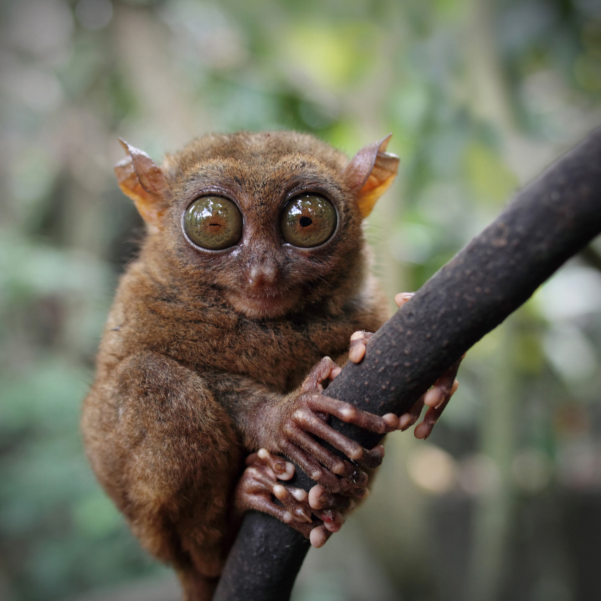 Smiling cute tarsier sitting on a tree, Bohol island, Philippines