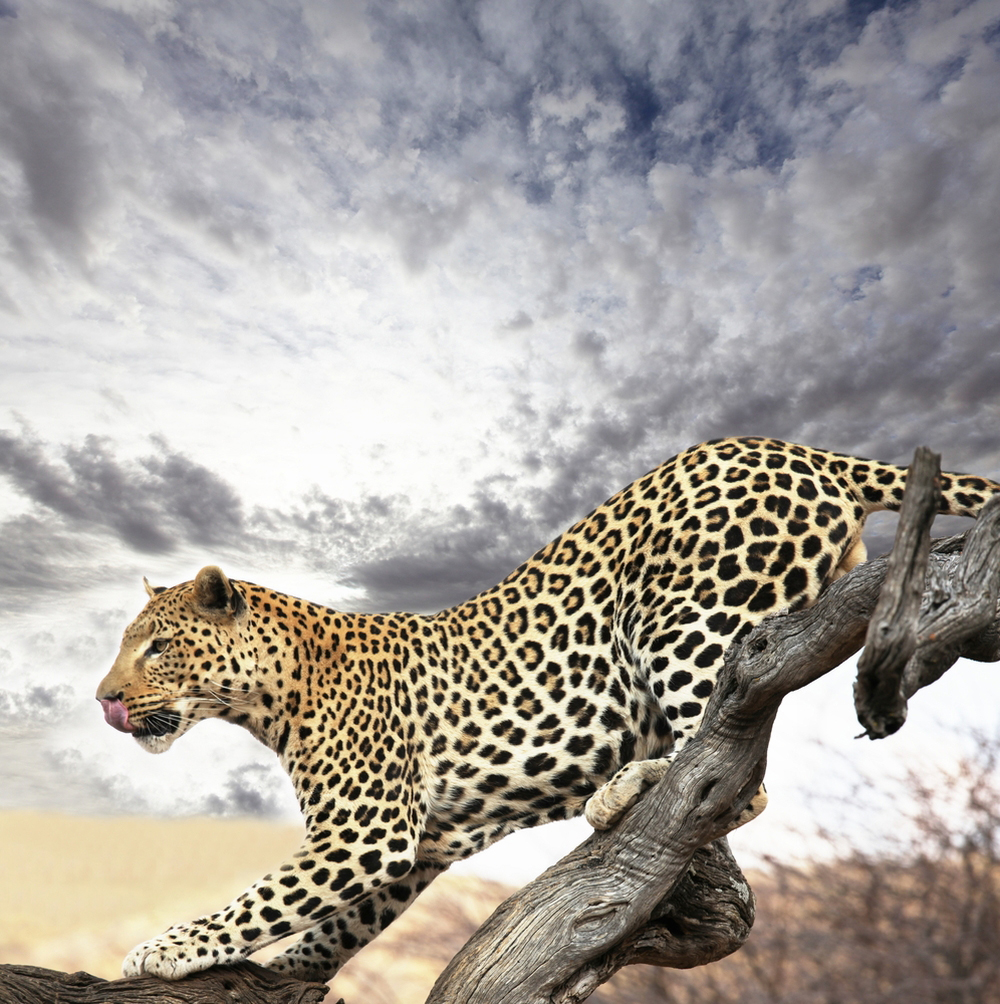 African Explorer - a beautiful portrait of a leopard
