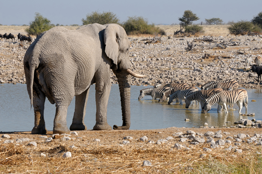 Elephant and zebras near the water hole in the Hwange National Park