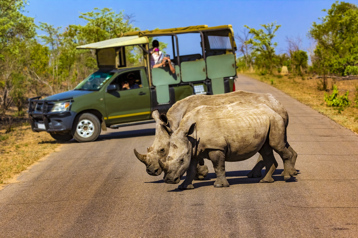 Game drive. Safari car on game drive with rhinos around
