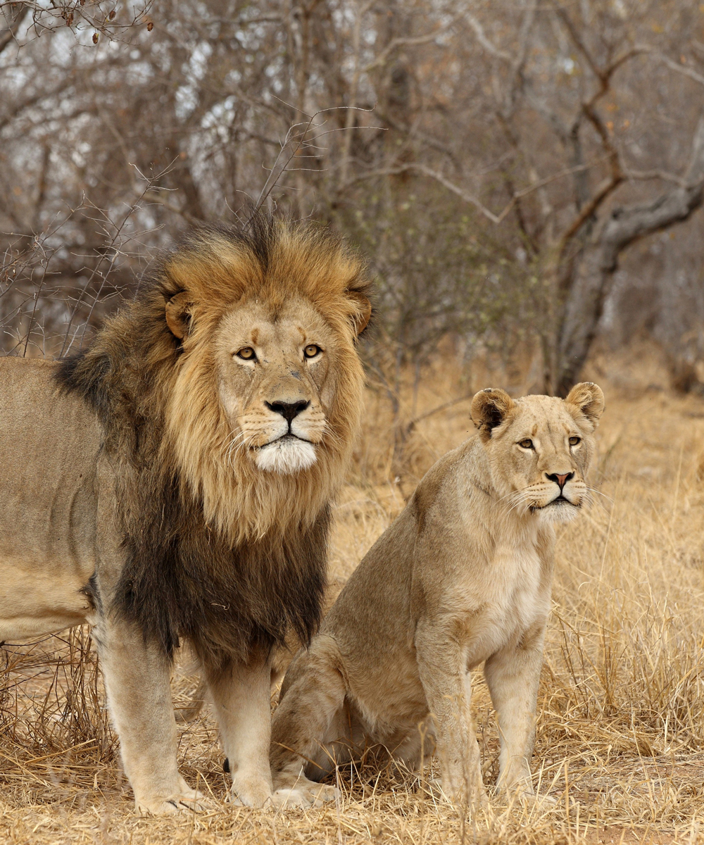 Kruger National Park - Male and Female Lion
