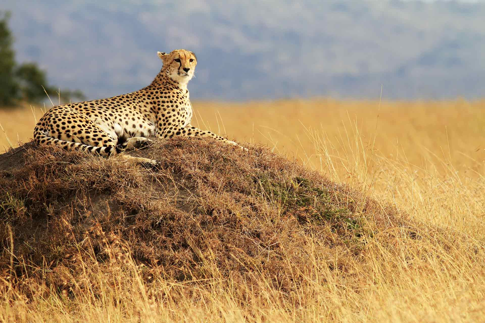 A cheetah relaxing, National Reserve in Kenya