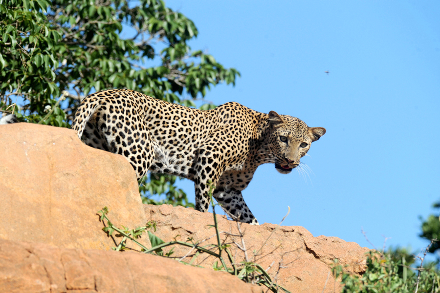 A leopard bathing on a rock in Samburu Park in central Kenya